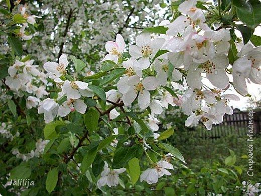 Основной цвет мая? Ошибаетесь, если думаете - зелёный. Зелёный цвет - цвет весны. А цвет мая в наших краях - белый. И этот цвет имеет изумительный аромат! И звучание - многоголосое жужжание пчёл. фото 5