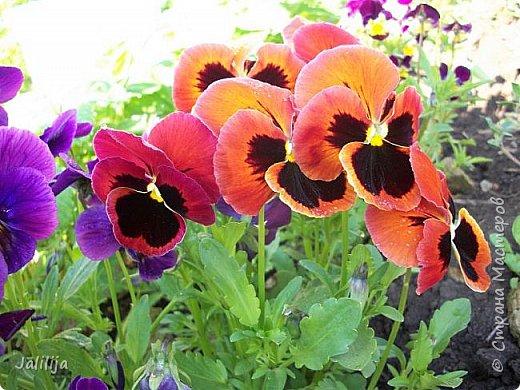 Для тех, кто любит эти цветочки, уважаемые мастера, я сегодня привезла из деревни это буйство цвета и красок.  Оторвитесь от своих поделок, пусть ваши трудолюбивые ручки и глазки отдохнут. Вы посмотрите, сколько ярких красок!  Какое буйство цвета! Я не буду вам мешать. Буду рада, если мои виолки доставят вам несколько приятных минут. фото 7