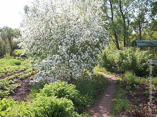Основной цвет мая? Ошибаетесь, если думаете - зелёный. Зелёный цвет - цвет весны. А цвет мая в наших краях - белый. И этот цвет имеет изумительный аромат! И звучание - многоголосое жужжание пчёл. фото 6