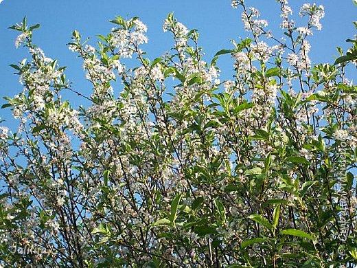 Основной цвет мая? Ошибаетесь, если думаете - зелёный. Зелёный цвет - цвет весны. А цвет мая в наших краях - белый. И этот цвет имеет изумительный аромат! И звучание - многоголосое жужжание пчёл. фото 8