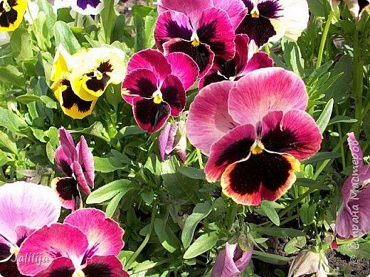 Для тех, кто любит эти цветочки, уважаемые мастера, я сегодня привезла из деревни это буйство цвета и красок.  Оторвитесь от своих поделок, пусть ваши трудолюбивые ручки и глазки отдохнут. Вы посмотрите, сколько ярких красок!  Какое буйство цвета! Я не буду вам мешать. Буду рада, если мои виолки доставят вам несколько приятных минут. фото 10