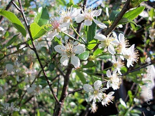 Основной цвет мая? Ошибаетесь, если думаете - зелёный. Зелёный цвет - цвет весны. А цвет мая в наших краях - белый. И этот цвет имеет изумительный аромат! И звучание - многоголосое жужжание пчёл. фото 9