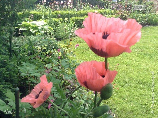 Восточный мак- высокий с огромными цветами. фото 1