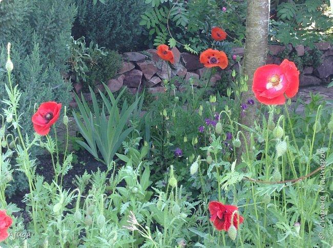 Восточный мак- высокий с огромными цветами. фото 7