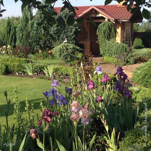 Восточный мак- высокий с огромными цветами. фото 9