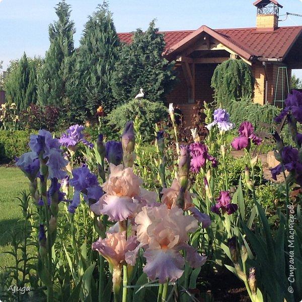 Восточный мак- высокий с огромными цветами. фото 10