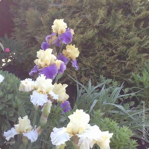 Восточный мак- высокий с огромными цветами. фото 13