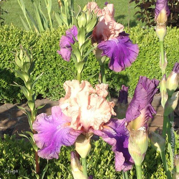 Восточный мак- высокий с огромными цветами. фото 14