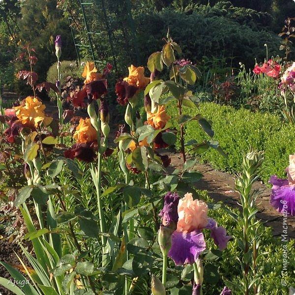 Восточный мак- высокий с огромными цветами. фото 16