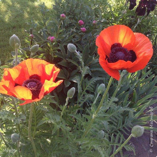 Восточный мак- высокий с огромными цветами. фото 3