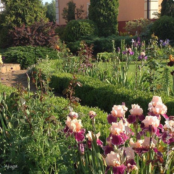 Восточный мак- высокий с огромными цветами. фото 18