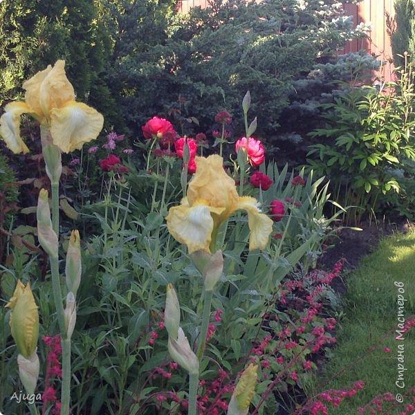Восточный мак- высокий с огромными цветами. фото 19