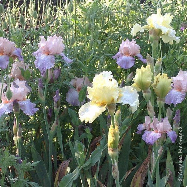 Восточный мак- высокий с огромными цветами. фото 22