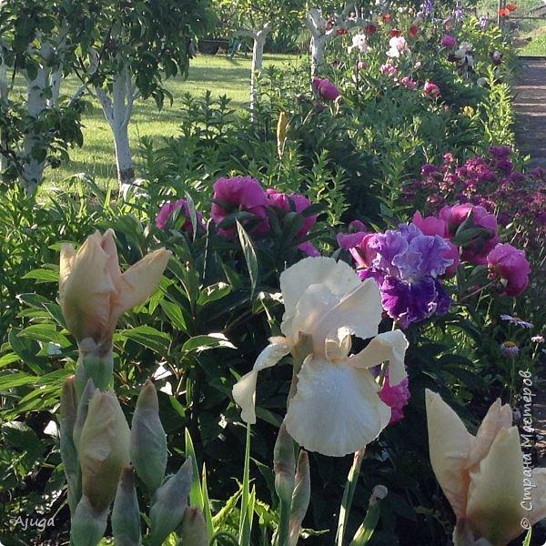 Восточный мак- высокий с огромными цветами. фото 23