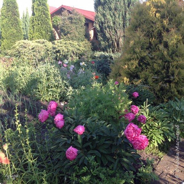 Восточный мак- высокий с огромными цветами. фото 24