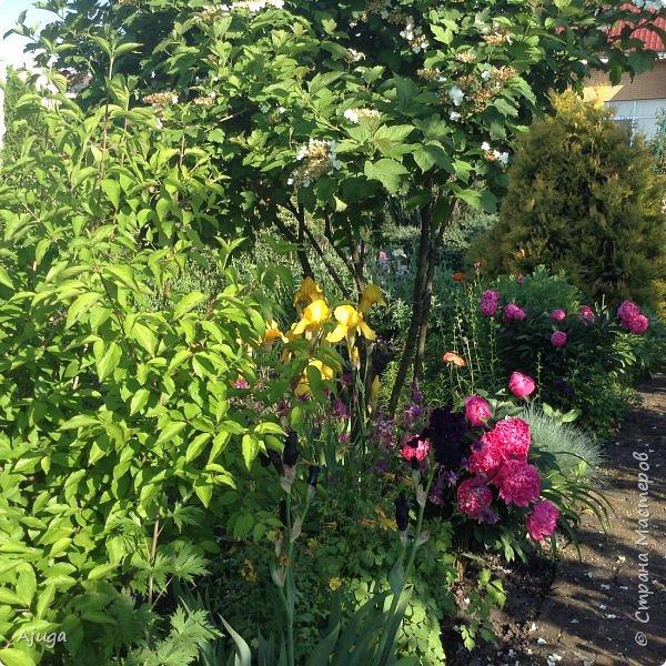 Восточный мак- высокий с огромными цветами. фото 26