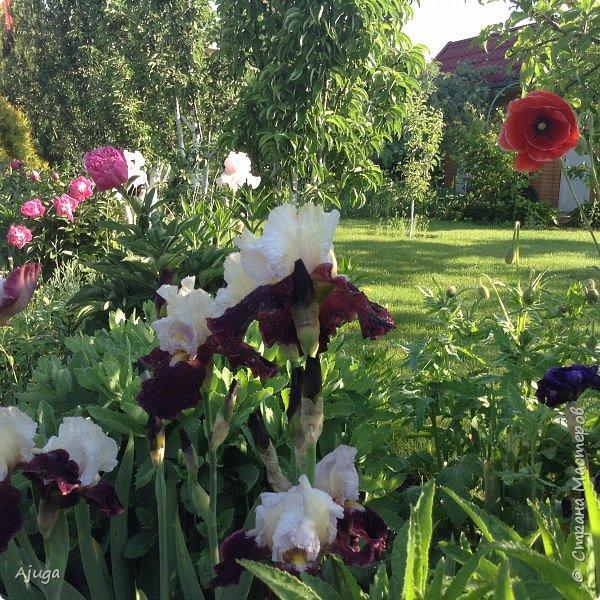 Восточный мак- высокий с огромными цветами. фото 27