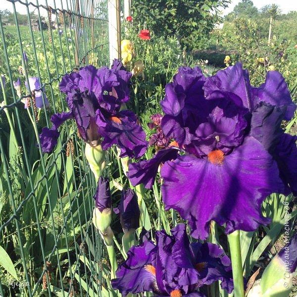 Восточный мак- высокий с огромными цветами. фото 29