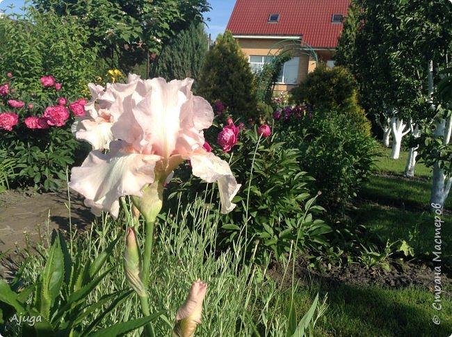Восточный мак- высокий с огромными цветами. фото 31