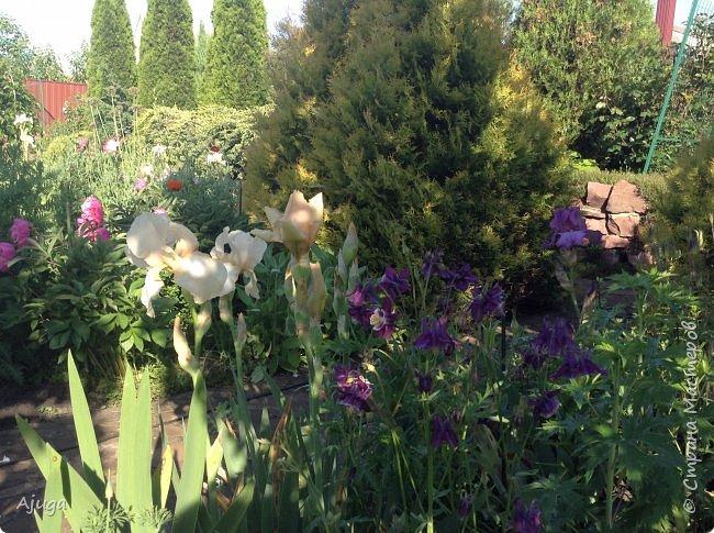 Восточный мак- высокий с огромными цветами. фото 32