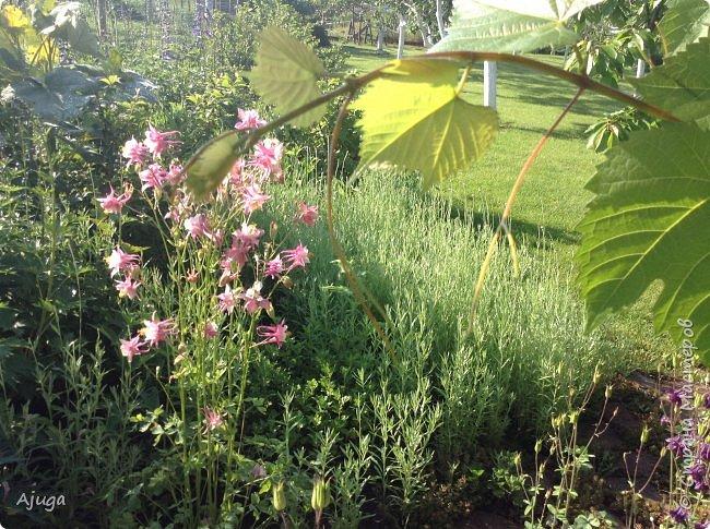 Восточный мак- высокий с огромными цветами. фото 33
