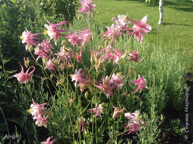 Восточный мак- высокий с огромными цветами. фото 34