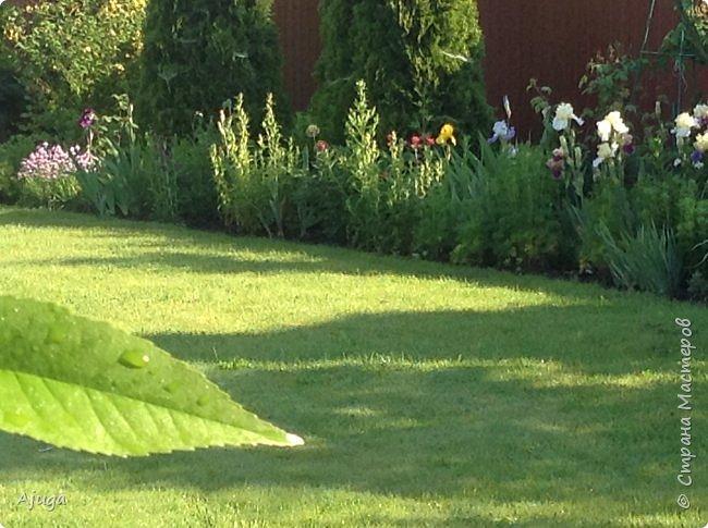 Восточный мак- высокий с огромными цветами. фото 35
