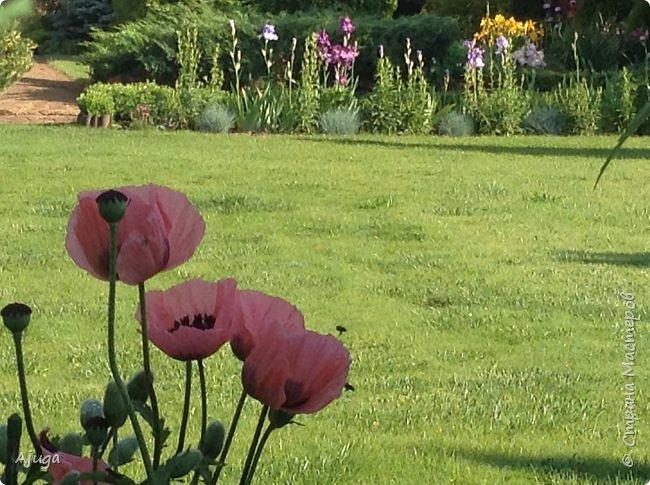 Восточный мак- высокий с огромными цветами. фото 36
