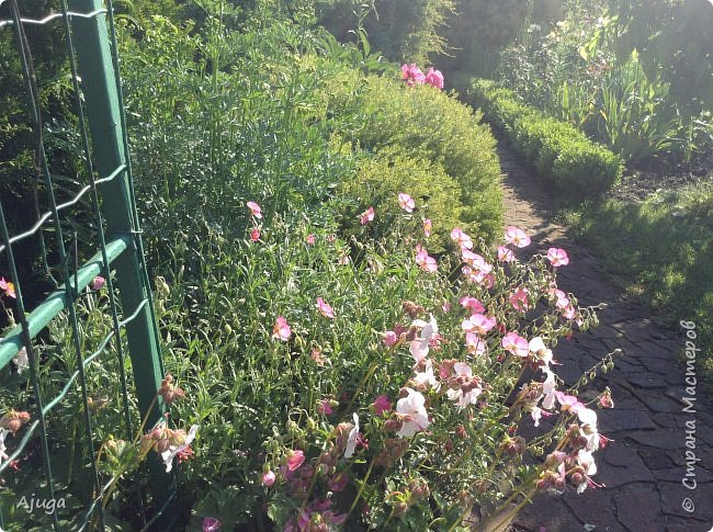 Восточный мак- высокий с огромными цветами. фото 38