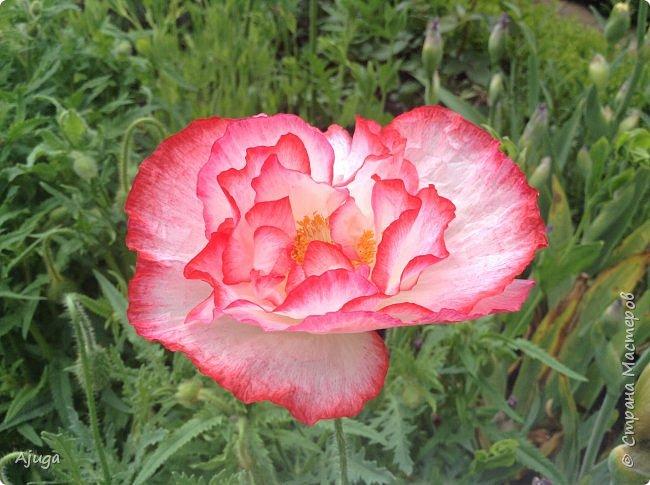 Восточный мак- высокий с огромными цветами. фото 5