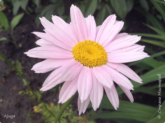 Восточный мак- высокий с огромными цветами. фото 6