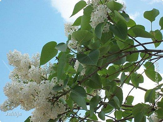 Основной цвет мая? Ошибаетесь, если думаете - зелёный. Зелёный цвет - цвет весны. А цвет мая в наших краях - белый. И этот цвет имеет изумительный аромат! И звучание - многоголосое жужжание пчёл. фото 24