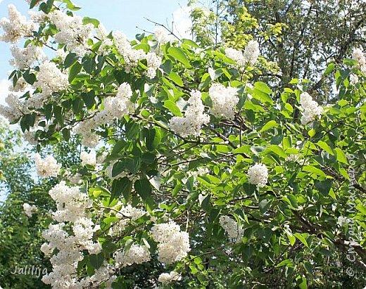 Основной цвет мая? Ошибаетесь, если думаете - зелёный. Зелёный цвет - цвет весны. А цвет мая в наших краях - белый. И этот цвет имеет изумительный аромат! И звучание - многоголосое жужжание пчёл. фото 25