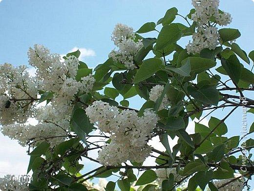 Основной цвет мая? Ошибаетесь, если думаете - зелёный. Зелёный цвет - цвет весны. А цвет мая в наших краях - белый. И этот цвет имеет изумительный аромат! И звучание - многоголосое жужжание пчёл. фото 27