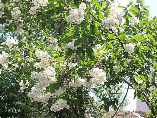 Основной цвет мая? Ошибаетесь, если думаете - зелёный. Зелёный цвет - цвет весны. А цвет мая в наших краях - белый. И этот цвет имеет изумительный аромат! И звучание - многоголосое жужжание пчёл. фото 26