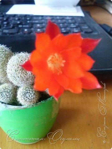 Доброго времени суток, Страна! Я продолжаю страдать хроническим обленизмом, а мои любимые зелёные ежата - кактусята продолжают цвести, доставляя мне радость своими прекрасными цветками. В этой записи фотографии с 22-го по 27-е мая. Это цветёт кактус Rebutia sp. (вид точно не знаю). Сразу два цветка открыл, и ещё бутон есть. фото 7