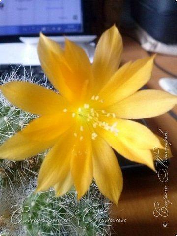 Доброго времени суток, Страна! Я продолжаю страдать хроническим обленизмом, а мои любимые зелёные ежата - кактусята продолжают цвести, доставляя мне радость своими прекрасными цветками. В этой записи фотографии с 22-го по 27-е мая. Это цветёт кактус Rebutia sp. (вид точно не знаю). Сразу два цветка открыл, и ещё бутон есть. фото 13