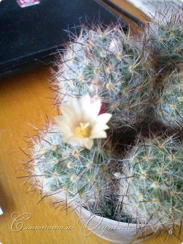 Доброго времени суток, Страна! Я продолжаю страдать хроническим обленизмом, а мои любимые зелёные ежата - кактусята продолжают цвести, доставляя мне радость своими прекрасными цветками. В этой записи фотографии с 22-го по 27-е мая. Это цветёт кактус Rebutia sp. (вид точно не знаю). Сразу два цветка открыл, и ещё бутон есть. фото 8