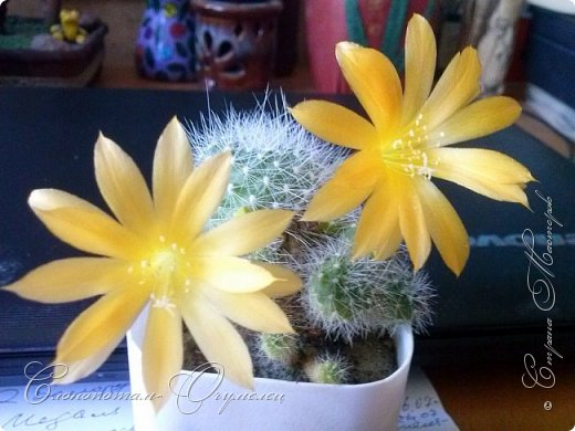 Доброго времени суток, Страна! Я продолжаю страдать хроническим обленизмом, а мои любимые зелёные ежата - кактусята продолжают цвести, доставляя мне радость своими прекрасными цветками. В этой записи фотографии с 22-го по 27-е мая. Это цветёт кактус Rebutia sp. (вид точно не знаю). Сразу два цветка открыл, и ещё бутон есть. фото 1