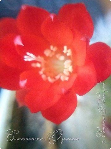 Доброго времени суток, Страна! Я продолжаю страдать хроническим обленизмом, а мои любимые зелёные ежата - кактусята продолжают цвести, доставляя мне радость своими прекрасными цветками. В этой записи фотографии с 22-го по 27-е мая. Это цветёт кактус Rebutia sp. (вид точно не знаю). Сразу два цветка открыл, и ещё бутон есть. фото 18