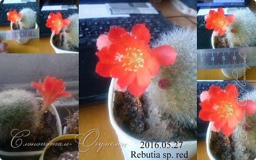 Доброго времени суток, Страна! Я продолжаю страдать хроническим обленизмом, а мои любимые зелёные ежата - кактусята продолжают цвести, доставляя мне радость своими прекрасными цветками. В этой записи фотографии с 22-го по 27-е мая. Это цветёт кактус Rebutia sp. (вид точно не знаю). Сразу два цветка открыл, и ещё бутон есть. фото 5
