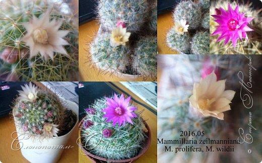 Доброго времени суток, Страна! Я продолжаю страдать хроническим обленизмом, а мои любимые зелёные ежата - кактусята продолжают цвести, доставляя мне радость своими прекрасными цветками. В этой записи фотографии с 22-го по 27-е мая. Это цветёт кактус Rebutia sp. (вид точно не знаю). Сразу два цветка открыл, и ещё бутон есть. фото 2