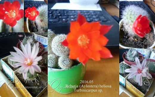 Доброго времени суток, Страна! Я продолжаю страдать хроническим обленизмом, а мои любимые зелёные ежата - кактусята продолжают цвести, доставляя мне радость своими прекрасными цветками. В этой записи фотографии с 22-го по 27-е мая. Это цветёт кактус Rebutia sp. (вид точно не знаю). Сразу два цветка открыл, и ещё бутон есть. фото 3
