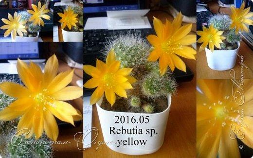 Доброго времени суток, Страна! Я продолжаю страдать хроническим обленизмом, а мои любимые зелёные ежата - кактусята продолжают цвести, доставляя мне радость своими прекрасными цветками. В этой записи фотографии с 22-го по 27-е мая. Это цветёт кактус Rebutia sp. (вид точно не знаю). Сразу два цветка открыл, и ещё бутон есть. фото 4