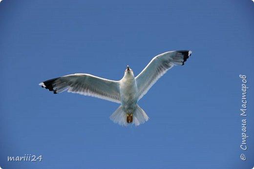 """Добрый день. Я участвую в конкурсе фотографий, который устроила Wonder Hawk 19 (ссылка на конкурс - http://stranamasterov.ru/node/1029450?c=favorite).  Номинация №1 - Дикая фауна - """"Чайка"""": фото 1"""