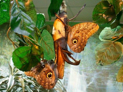 Есть в Санкт-Петербурге сады Миндо – маленькие островки счастья, где рождаются и живут тропические бабочки. Мне посчастливилось бывать несколько раз в этих экзотических местах. Представляю наиболее удачные фотографии виденных бабочек. фото 1