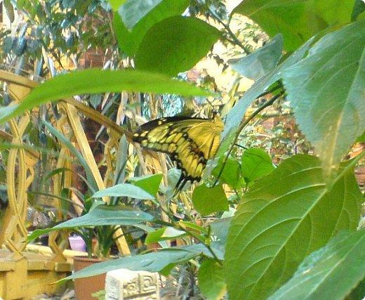 Есть в Санкт-Петербурге сады Миндо – маленькие островки счастья, где рождаются и живут тропические бабочки. Мне посчастливилось бывать несколько раз в этих экзотических местах. Представляю наиболее удачные фотографии виденных бабочек. фото 12