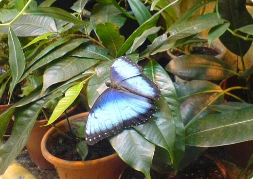 Есть в Санкт-Петербурге сады Миндо – маленькие островки счастья, где рождаются и живут тропические бабочки. Мне посчастливилось бывать несколько раз в этих экзотических местах. Представляю наиболее удачные фотографии виденных бабочек. фото 14