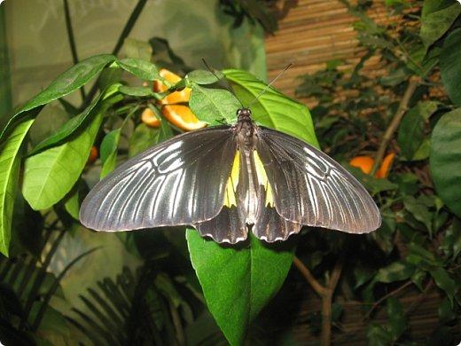 Есть в Санкт-Петербурге сады Миндо – маленькие островки счастья, где рождаются и живут тропические бабочки. Мне посчастливилось бывать несколько раз в этих экзотических местах. Представляю наиболее удачные фотографии виденных бабочек. фото 16