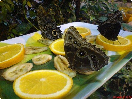 Есть в Санкт-Петербурге сады Миндо – маленькие островки счастья, где рождаются и живут тропические бабочки. Мне посчастливилось бывать несколько раз в этих экзотических местах. Представляю наиболее удачные фотографии виденных бабочек. фото 7
